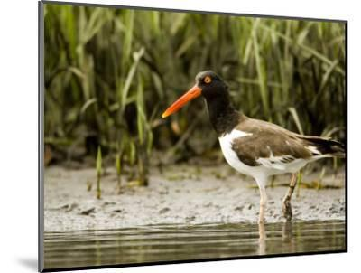 American Oystercatcher Foraging for Food, Tampa Bay, Florida-Tim Laman-Mounted Photographic Print