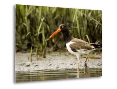 American Oystercatcher Foraging for Food, Tampa Bay, Florida-Tim Laman-Metal Print