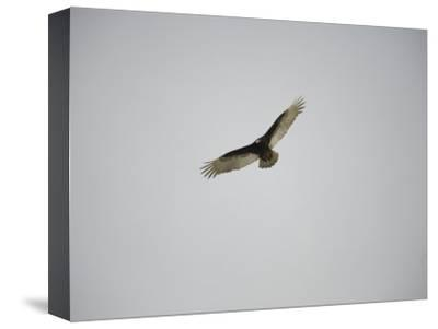 Circling Turkey Vulture Rides Air Currents-Stephen St^ John-Stretched Canvas Print