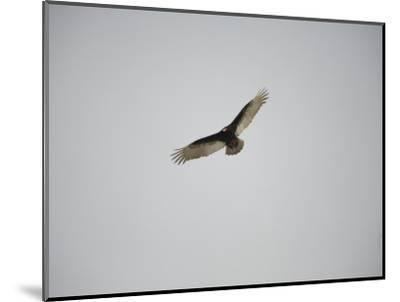 Circling Turkey Vulture Rides Air Currents-Stephen St^ John-Mounted Photographic Print