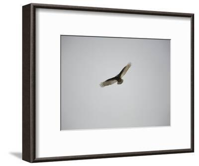 Circling Turkey Vulture Rides Air Currents-Stephen St^ John-Framed Photographic Print
