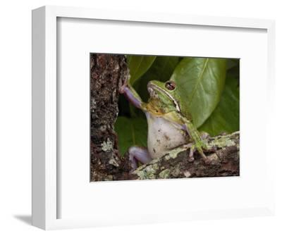 Barking Treefrog Climbs a Tree-George Grall-Framed Photographic Print