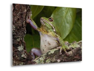 Barking Treefrog Climbs a Tree-George Grall-Metal Print