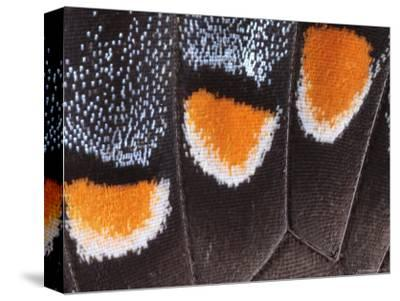 Close-Up Photo Showing the Scales of a Dark Phase Tiger Swallowtail-George Grall-Stretched Canvas Print