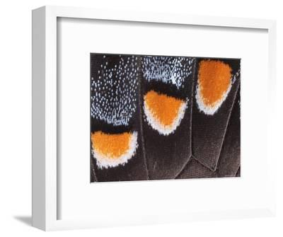 Close-Up Photo Showing the Scales of a Dark Phase Tiger Swallowtail-George Grall-Framed Photographic Print