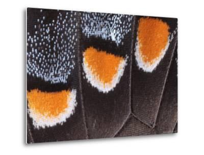 Close-Up Photo Showing the Scales of a Dark Phase Tiger Swallowtail-George Grall-Metal Print