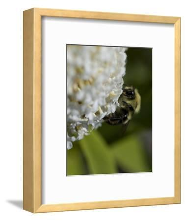 Close-Up of a Bee on a White Flower, Groton, Connecticut-Todd Gipstein-Framed Photographic Print