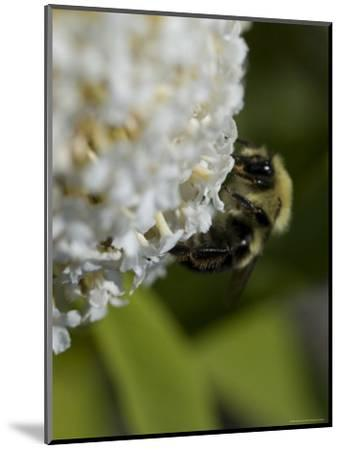 Close-Up of a Bee on a White Flower, Groton, Connecticut-Todd Gipstein-Mounted Photographic Print