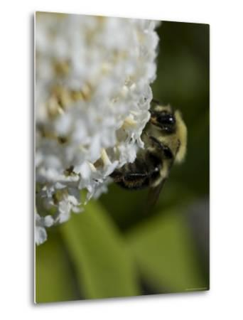 Close-Up of a Bee on a White Flower, Groton, Connecticut-Todd Gipstein-Metal Print