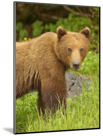 Close Portrait of Brown Bear Along Grassy Shore, Alaska-Ralph Lee Hopkins-Mounted Photographic Print