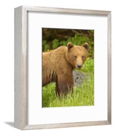 Close Portrait of Brown Bear Along Grassy Shore, Alaska-Ralph Lee Hopkins-Framed Photographic Print