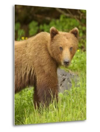 Close Portrait of Brown Bear Along Grassy Shore, Alaska-Ralph Lee Hopkins-Metal Print