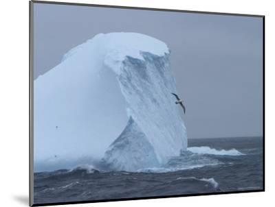 Black-Browed Albatross Flies Past Iceberg-Ralph Lee Hopkins-Mounted Photographic Print