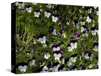 Close-Up of a Field of Pansies, Asolo, Italy-Todd Gipstein-Stretched Canvas Print