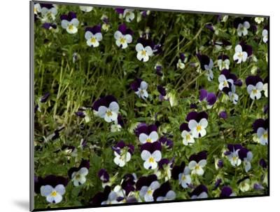 Close-Up of a Field of Pansies, Asolo, Italy-Todd Gipstein-Mounted Photographic Print