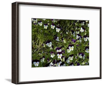 Close-Up of a Field of Pansies, Asolo, Italy-Todd Gipstein-Framed Photographic Print