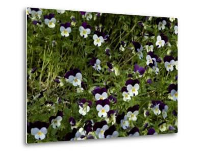 Close-Up of a Field of Pansies, Asolo, Italy-Todd Gipstein-Metal Print