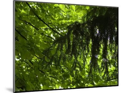 Close View of Branches and Leaves in the Trees, Asolo, Italy-Todd Gipstein-Mounted Photographic Print