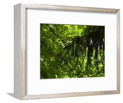 Close View of Branches and Leaves in the Trees, Asolo, Italy-Todd Gipstein-Framed Photographic Print