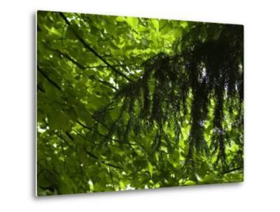 Close View of Branches and Leaves in the Trees, Asolo, Italy-Todd Gipstein-Metal Print