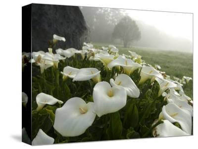 Calla Lilies, Bolinas, California-Brimberg & Coulson-Stretched Canvas Print