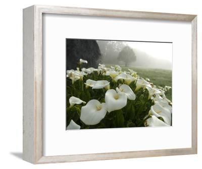Calla Lilies, Bolinas, California-Brimberg & Coulson-Framed Photographic Print