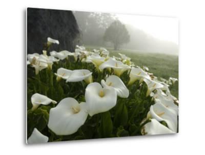 Calla Lilies, Bolinas, California-Brimberg & Coulson-Metal Print