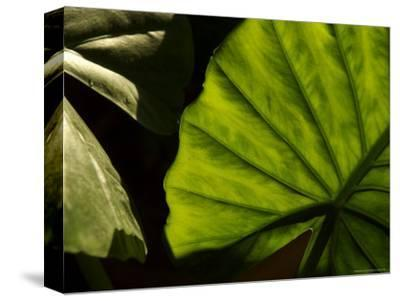 Close-Up of a Green Leaf, Dahab, Egypt, Middle East-Brimberg & Coulson-Stretched Canvas Print