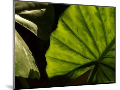 Close-Up of a Green Leaf, Dahab, Egypt, Middle East-Brimberg & Coulson-Mounted Photographic Print