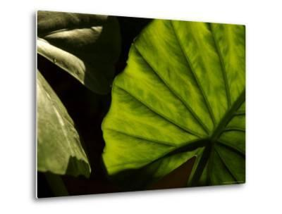 Close-Up of a Green Leaf, Dahab, Egypt, Middle East-Brimberg & Coulson-Metal Print