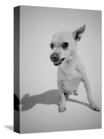 Chihuahua Dog Snarling-Peter Krogh-Stretched Canvas Print