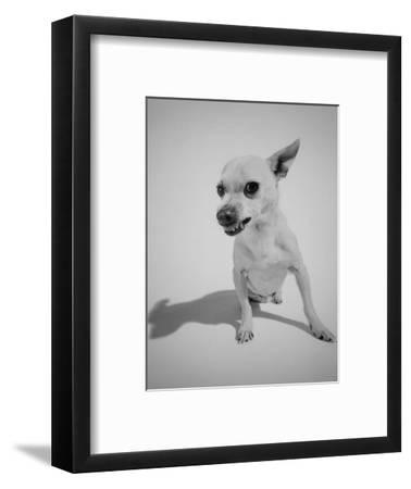 Chihuahua Dog Snarling-Peter Krogh-Framed Photographic Print