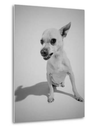 Chihuahua Dog Snarling-Peter Krogh-Metal Print