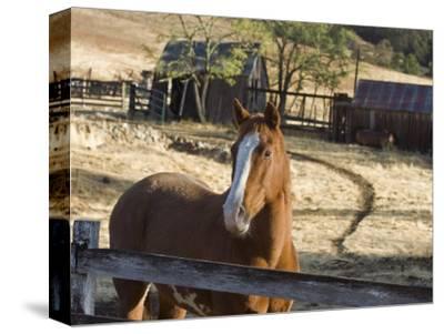 Horse on Santa Rosa Creek Road, Cambria, California-Rich Reid-Stretched Canvas Print