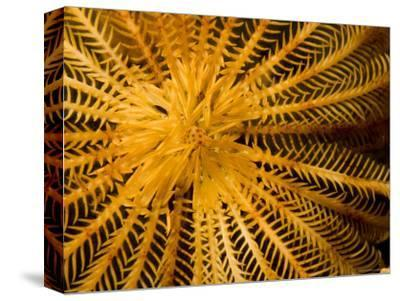 Detail of a Feather Star Crinoid, Bali, Indonesia-Tim Laman-Stretched Canvas Print