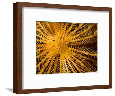 Detail of a Feather Star Crinoid, Bali, Indonesia-Tim Laman-Framed Photographic Print