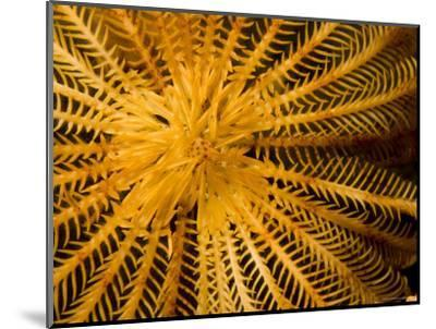 Detail of a Feather Star Crinoid, Bali, Indonesia-Tim Laman-Mounted Photographic Print