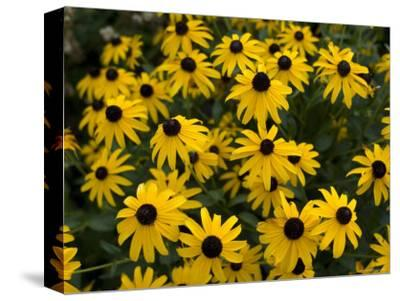 Flowers on the University of Nebraska-Lincoln Campus-Joel Sartore-Stretched Canvas Print