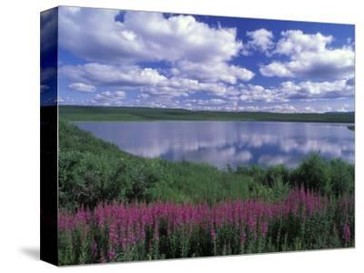 Fireweed, Lake and Clouds Reflecting in a Lake, Alaska-Rich Reid-Stretched Canvas Print