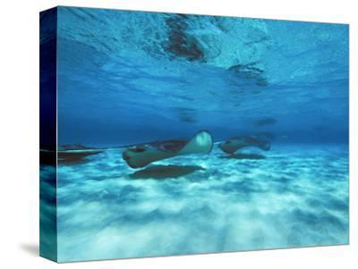 Grand Cayman, Stingray City Unerwater with Stingrays Dasyatis American-James Forte-Stretched Canvas Print