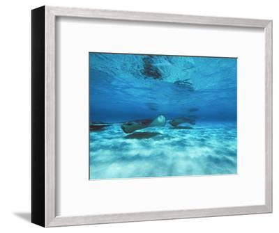 Grand Cayman, Stingray City Unerwater with Stingrays Dasyatis American-James Forte-Framed Photographic Print