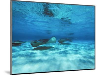 Grand Cayman, Stingray City Unerwater with Stingrays Dasyatis American-James Forte-Mounted Photographic Print