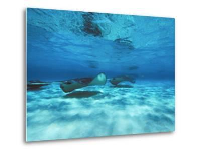 Grand Cayman, Stingray City Unerwater with Stingrays Dasyatis American-James Forte-Metal Print