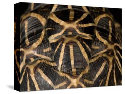 Indian Star Tortoise at the Sunset Zoo, Kansas-Joel Sartore-Stretched Canvas Print