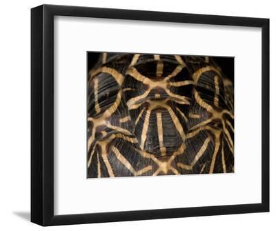 Indian Star Tortoise at the Sunset Zoo, Kansas-Joel Sartore-Framed Photographic Print