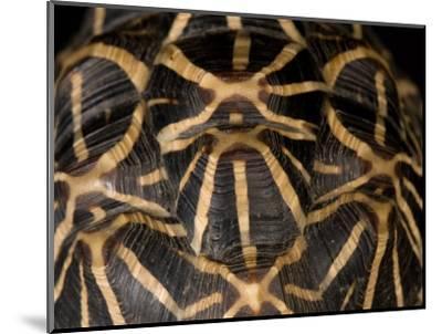 Indian Star Tortoise at the Sunset Zoo, Kansas-Joel Sartore-Mounted Photographic Print