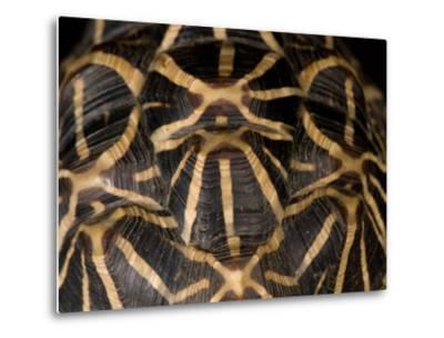 Indian Star Tortoise at the Sunset Zoo, Kansas-Joel Sartore-Metal Print