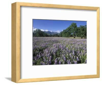 Fields of Lupine and Owl Clover in the Valley Oak Trees near Indians, California-Rich Reid-Framed Photographic Print
