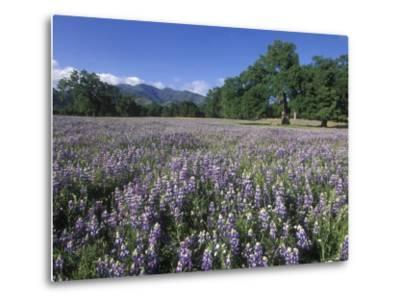 Fields of Lupine and Owl Clover in the Valley Oak Trees near Indians, California-Rich Reid-Metal Print