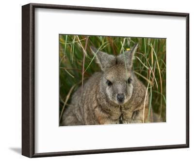 Dama Wallaby at the Sedgwick County Zoo-Joel Sartore-Framed Photographic Print